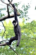 VR Gibbon